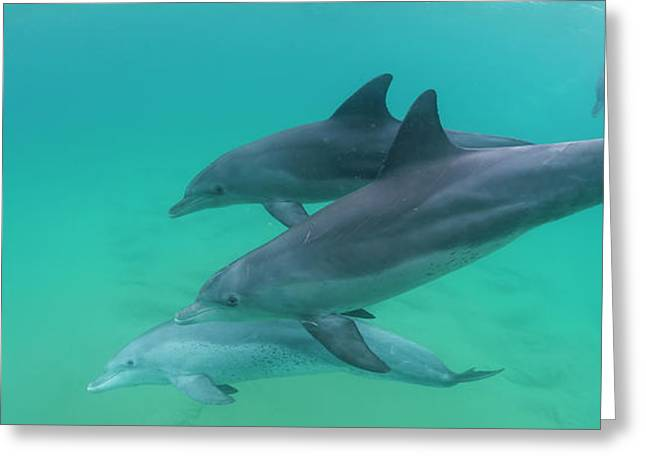 Three Bottle-nosed Dolphins Tursiops Greeting Card by Panoramic Images