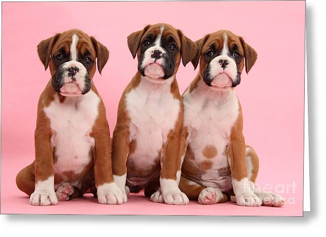 Three Boxer Puppies Greeting Card by Mark Taylor