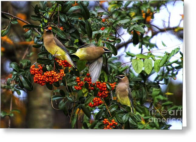 Three Cedar Waxwings Greeting Card by Barbara Bowen