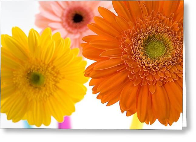 Three Colorful Gerbers  Greeting Card