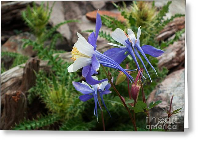 Three Columbine Greeting Card