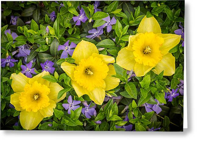 Three Daffodils In Blooming Periwinkle Greeting Card by Adam Romanowicz