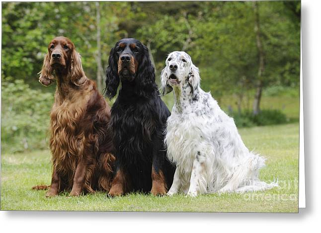 Three Different Setters Greeting Card