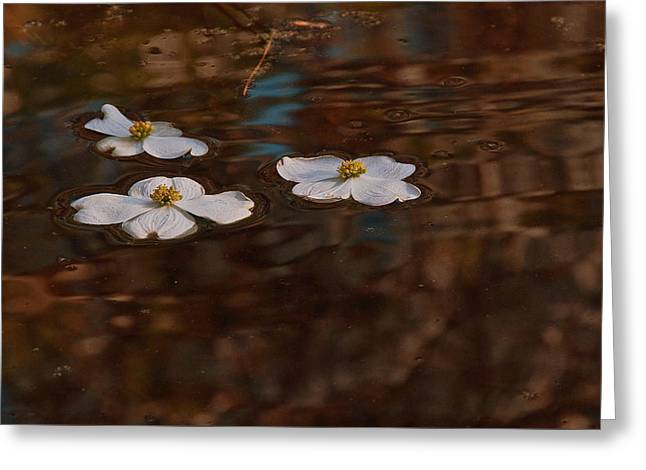 Greeting Card featuring the photograph Three Dogwood Blooms In A Pond  by John Harding