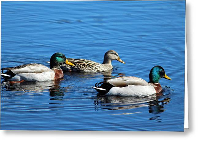 Three Ducks Greeting Card by Cynthia Guinn