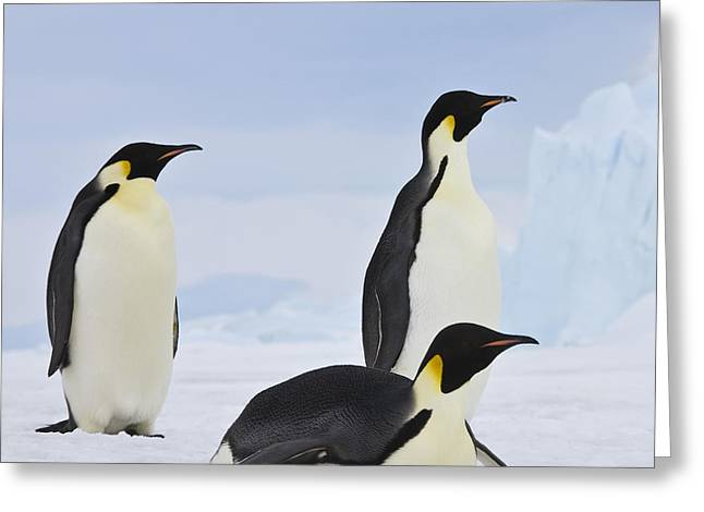 Three Emperor Penguins Greeting Card by Jean-Louis Klein and Marie-Luce Hubert