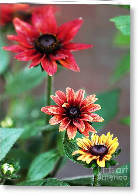Three Flowers Greeting Card by John Rizzuto