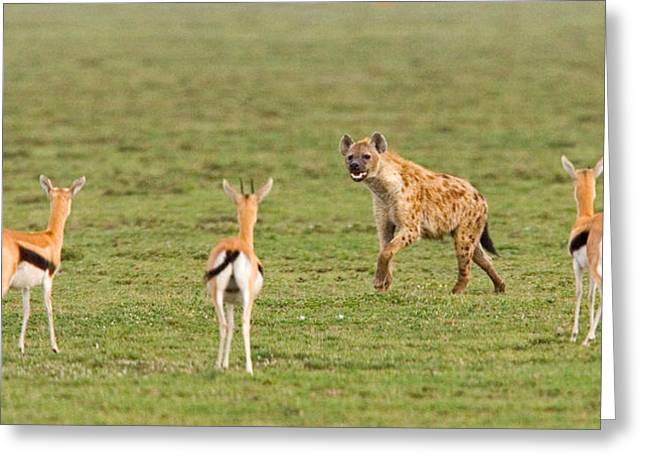 Three Gazelle Fawns Gazella Thomsoni Greeting Card by Panoramic Images