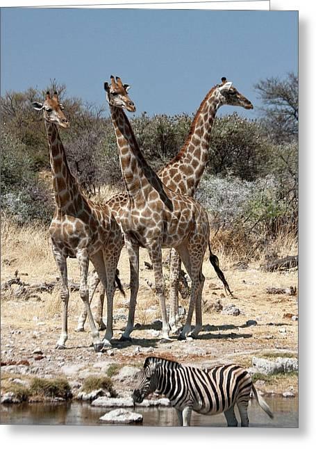 Three Giraffe (giraffa Camelopardalis Greeting Card