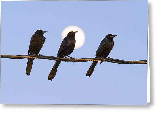 Three Grackles With Full Moon Greeting Card