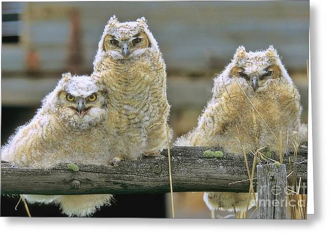Three Great-horned Owl Chicks Greeting Card