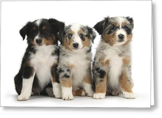 Three Mini American Shepherd Pups Greeting Card by Mark Taylor