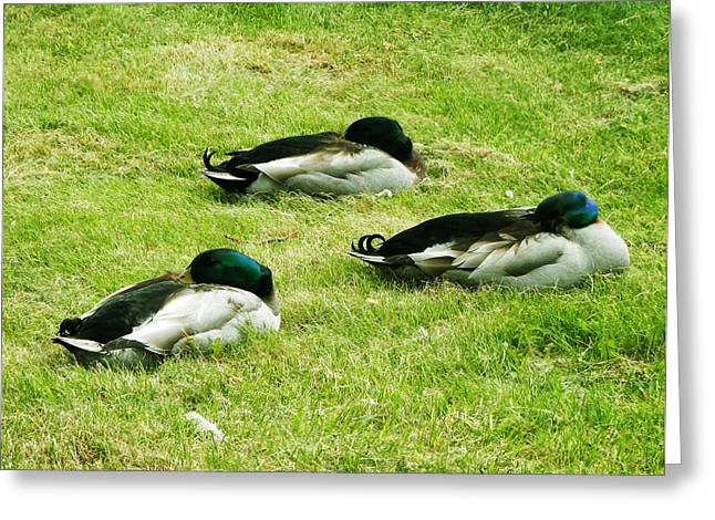 Three Napping Ducks  Greeting Card