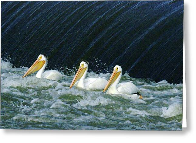Three Pelicans Hanging Out  Greeting Card by Jeff Swan