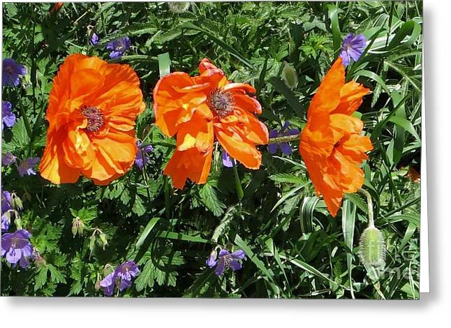 Three Poppies Greeting Card by Claudette Bujold-Poirier