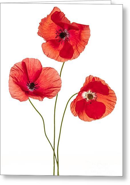 Three Poppy Flowers Greeting Card by Elena Elisseeva