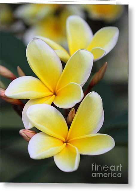 Three Pretty Plumeria Flowers Greeting Card by Sabrina L Ryan