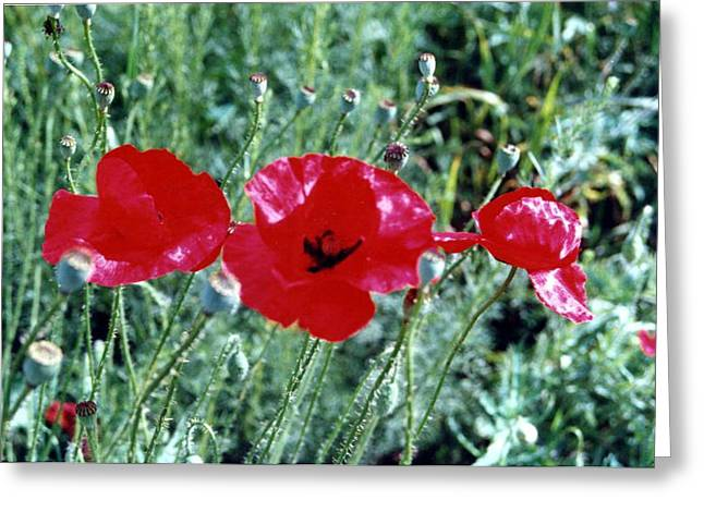 Three Red Poppies Greeting Card