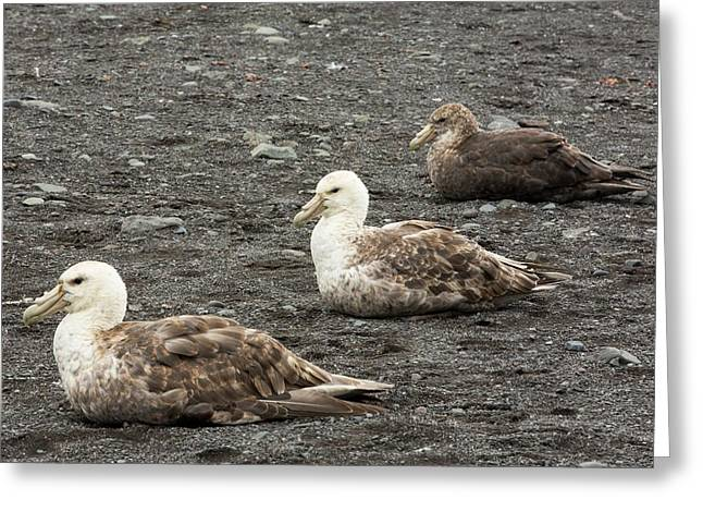 Three Southern Giant Petrels Greeting Card