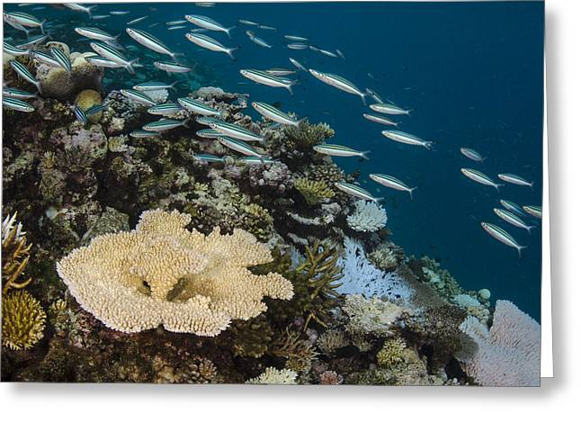 Three-striped Fusiliers And Coral Reef Greeting Card by Pete Oxford