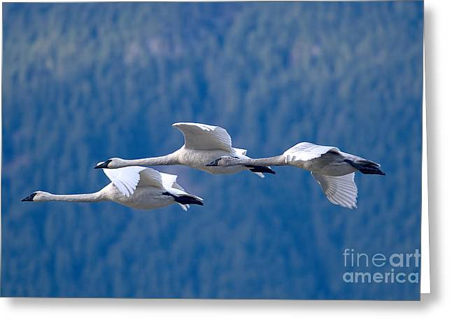 Three Swans Flying Greeting Card by Sharon Talson
