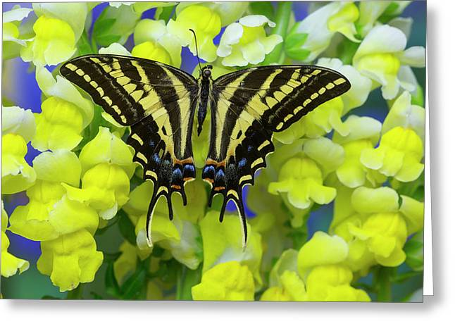Three-tailed Tiger Swallowtail Greeting Card