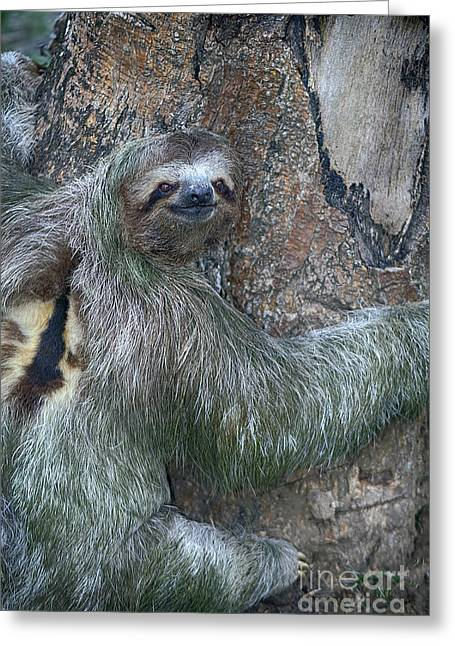 Three Toed Sloth Greeting Card by Anne Rodkin