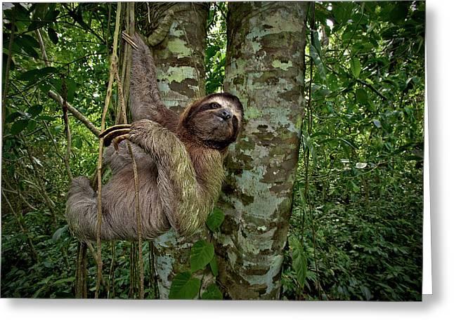 Three-toed Sloth (bradypus Variegatus Greeting Card by Andres Morya Hinojosa