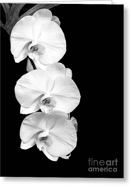 Three White Moth Orchids Greeting Card by Sabrina L Ryan
