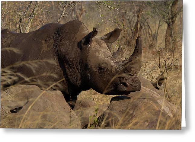 Three White Rhinoceros Ceratotherium Greeting Card