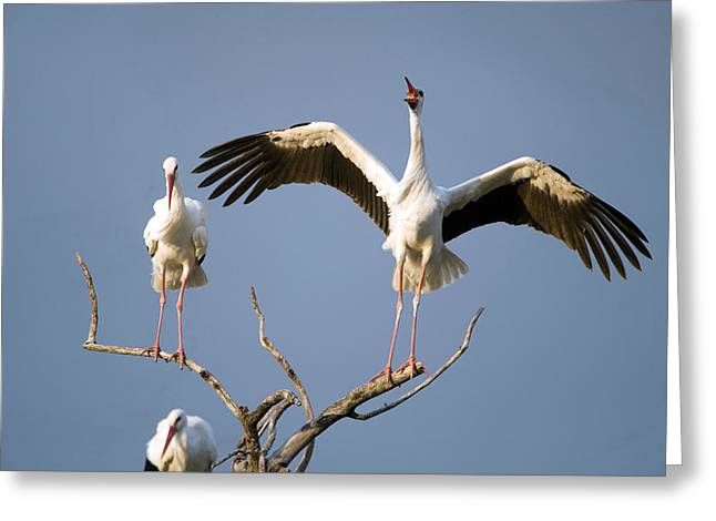 Three White Storks Ciconia Ciconia Greeting Card by Panoramic Images