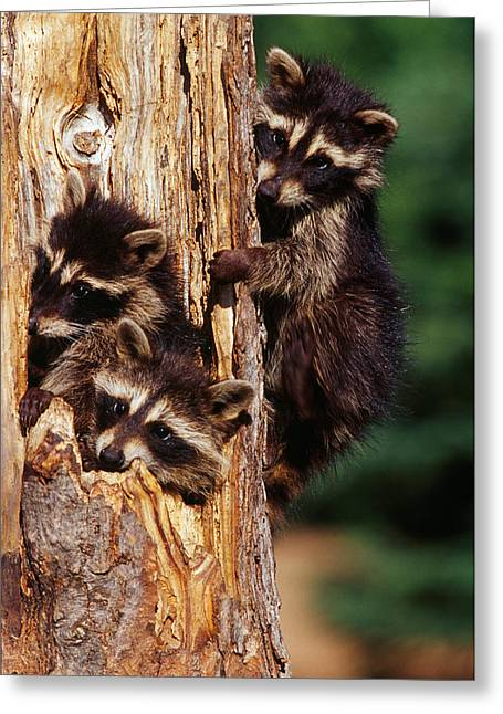 Three Young Raccoons In Hollow Tree Greeting Card by Panoramic Images