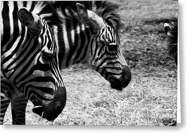 Greeting Card featuring the photograph Three Zebras by Tom Brickhouse
