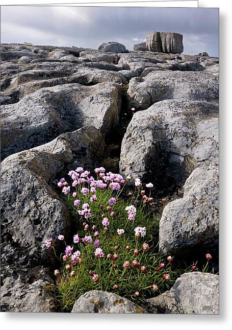 Thrift (armeria Maritima) On Limestone Greeting Card by Bob Gibbons