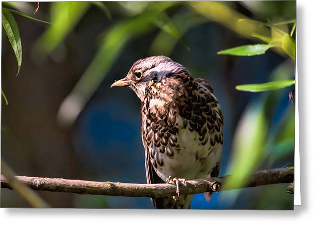 Thrush Greeting Card by Leif Sohlman