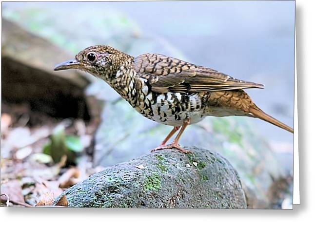 Thrush On Forest Floor Greeting Card