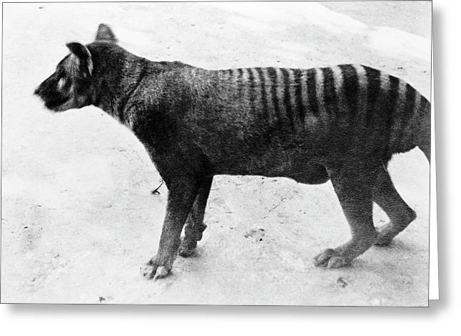 Thylacine Greeting Card by Natural History Museum, London