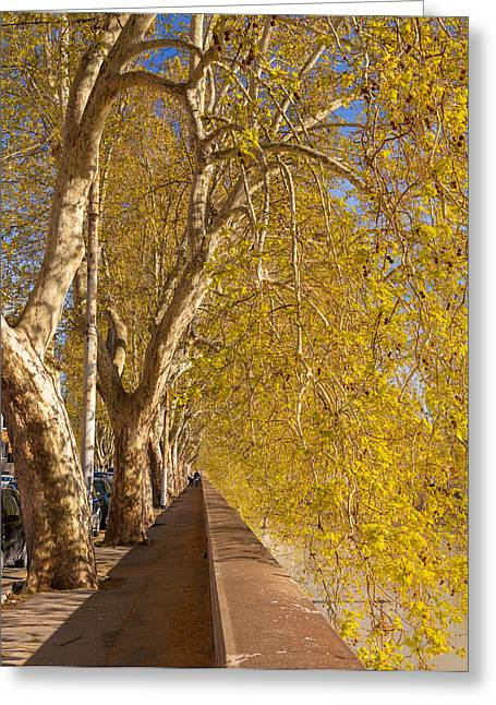 Tiber's Sycamores Greeting Card