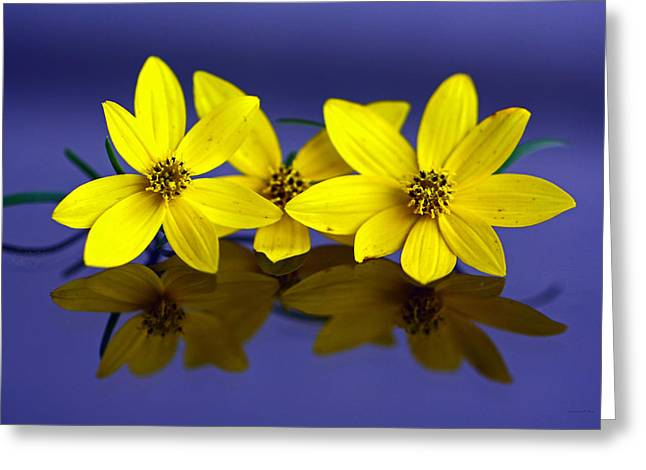 Tickseed Trio Greeting Card by Suzanne Stout