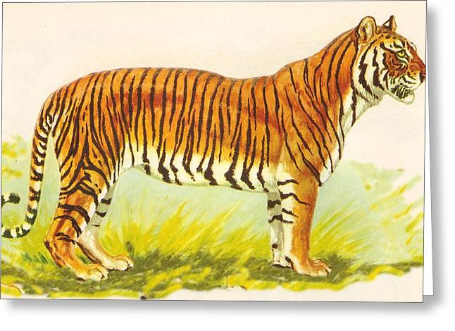 Tiger At Attention Greeting Card by Pat Mchale