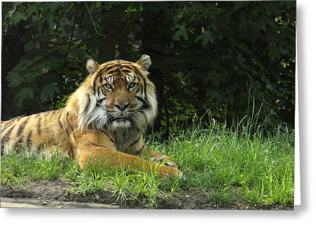 Greeting Card featuring the photograph Tiger At Rest by Lingfai Leung