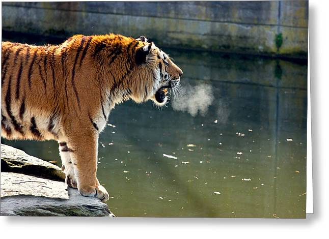 Tiger Breathing Into Cold Air By The Water Greeting Card by Pati Photography