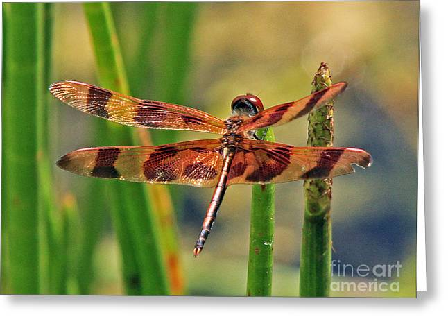 Tiger Dragonfly Greeting Card