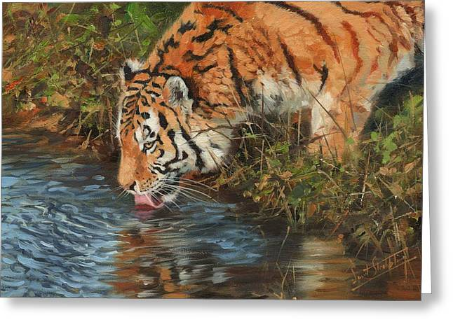Tiger Drinking Greeting Card by David Stribbling