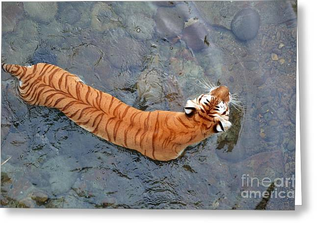Greeting Card featuring the photograph Tiger In The Stream by Robert Meanor