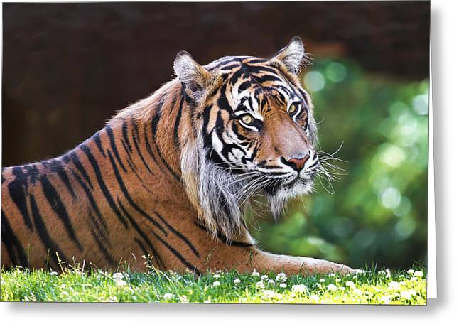 Tiger In The Sun Greeting Card