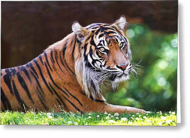 Tiger In The Sun Painting Greeting Card by Athena Mckinzie