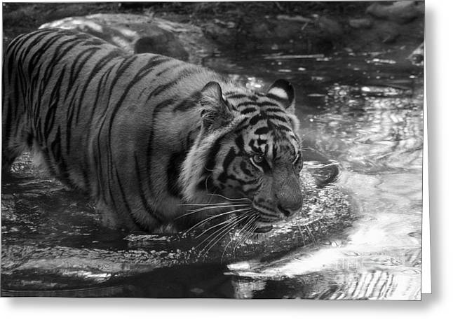 Tiger In The Water Greeting Card by Lisa L Silva