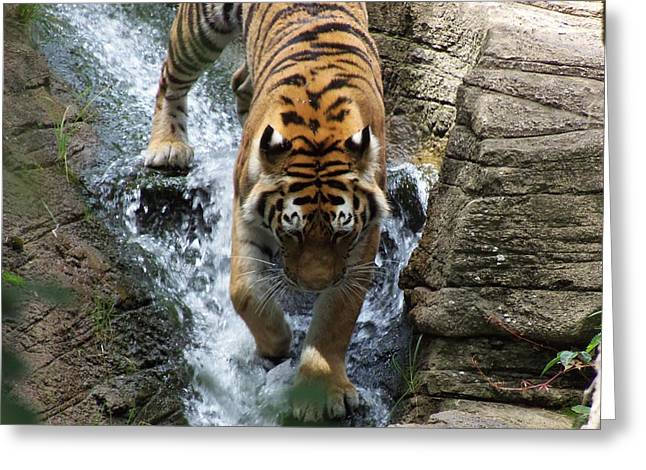Tiger In The Waterfall Greeting Card by Adam L