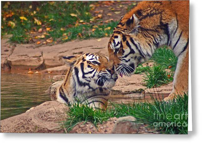 Tiger Kiss Greeting Card by David Rucker